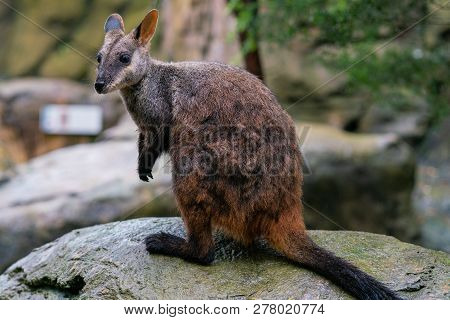 Brush Tailed Rock-wallaby Or Small-eared Rock Wallaby Petrogale Penicillata In Nsw Australia