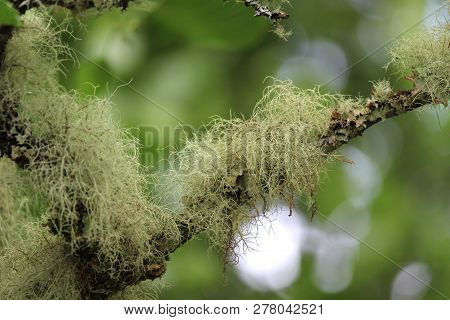 Close Up Image Of Old Mans Beard Lichen, In A Natural Outdoor Setting