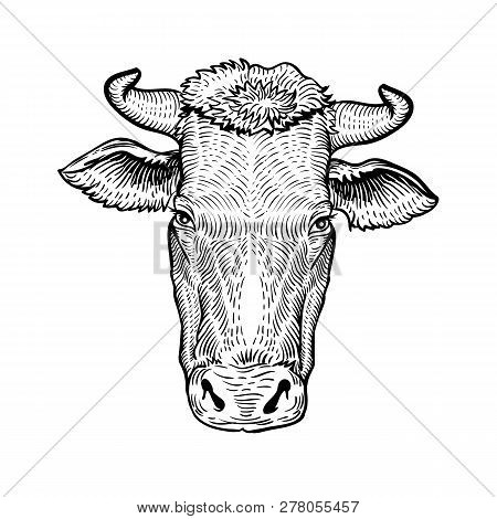 Cows Head, In A Graphic Style Hand Drawn Illustration. Cow Isolated On White Background