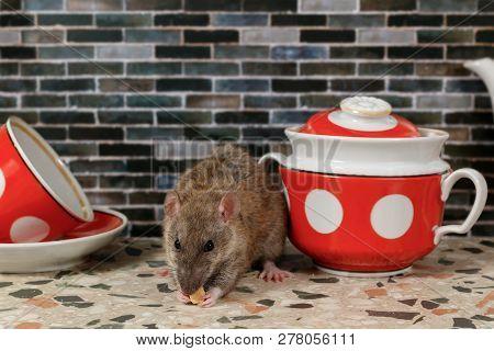 Close-up The Rat (rattus Norvegicus) Eats And Looks At Camera Near Sugar Bowl On Countertop At Kitch