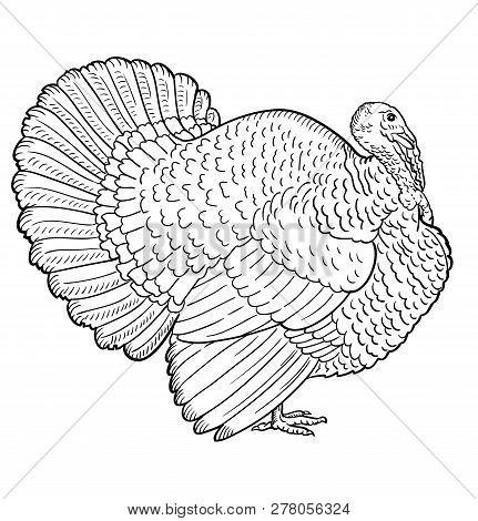 White Turkey, Illustration Sketch, Turkey Isolated On A White Background