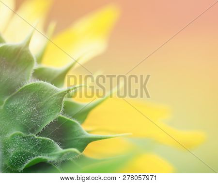 Close Up Back Of Sepal  Sunflower On Blurred Background For Create Fortune Greeting Card , Happiness