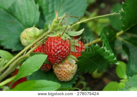 Red And White Strawberry Berries In The Sand On A Bush With Green Leaves