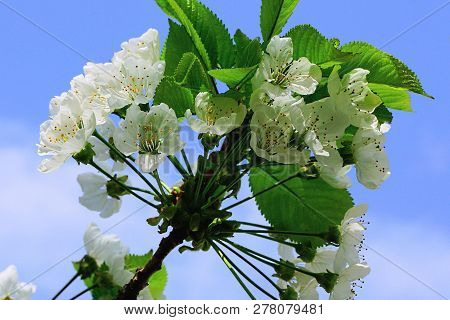 White Cherry Flowers On A Tree Branch With Green Leaves