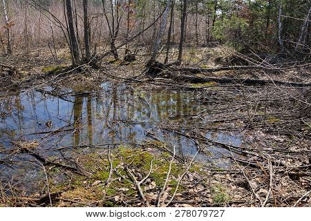 Big Puddle In The Midst Of Green Moss Dry Vegetation And Trees In The Spring Forest