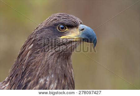 White-tailed Eagle Portrait From Very Close Distance