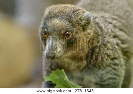 Mongoose Lemur, Eulemur Mongoz, A Small Primate, Native To Madagascar And The Comoros Islands. Portr