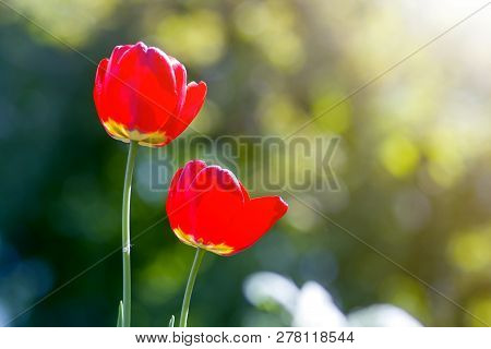 Beautiful close-up picture of wonderful bright red spring flowers tulips on high stems lavishly blooming on blurred green bokeh background in garden or field. Beauty and protection of nature concept. poster