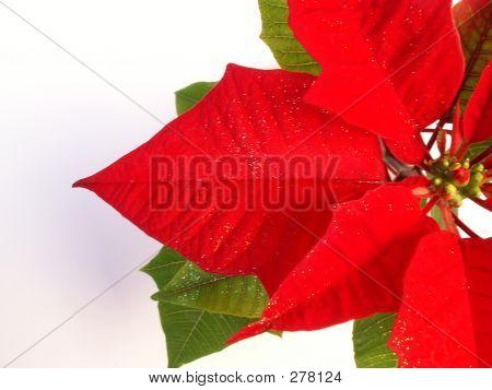 Christmas  Poinsettia 2