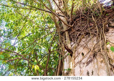 Many Roots Of Banyan Trees Fasten Around The Wall Of Old Buddhist Main Hall