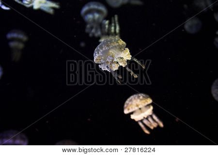 White spotted Jellyfish - Phyllorhiza punctata This large and spectacular jellyfish is common during the summer months in New South Wales coastal waters and estuaries, including Sydney Harbour.