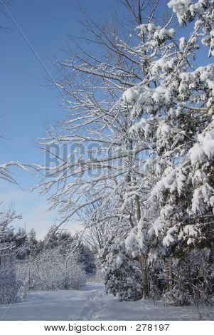 Frozen Pine Trees