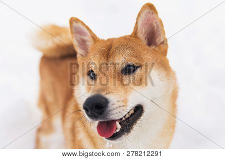 Brown pedigreed dog walking on the snowy field. Shiba inu poster