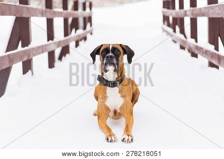Portrait of brown pedigreed dog on the snow. Boxer. poster