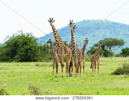 group of Masai Giraffe (Giraffa camelopardalis tippelskirchi or