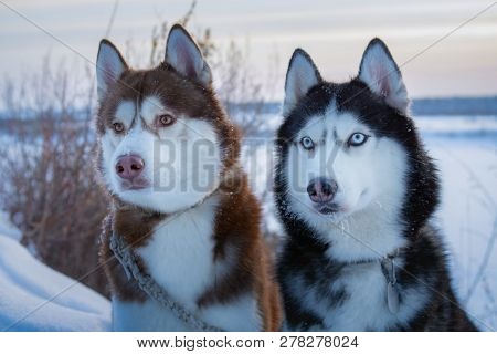 Two Siberian Husky Dogs Looks. Husky Dogs Black, Brown And White Coat Color. Closeup. Winter Sunset.