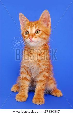 Kitten on a dark blue background