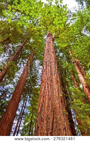 Tall Giant Redwood Trees In Redwood National Forest In Northern California