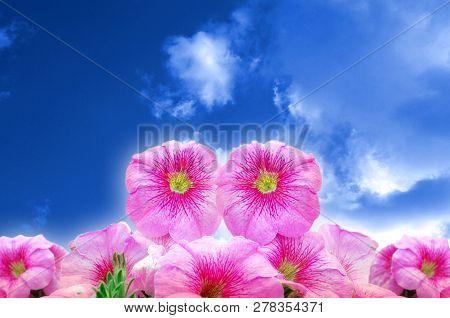 Beautiful Blooming Pink Petunia Flowers On Blue Sky Background