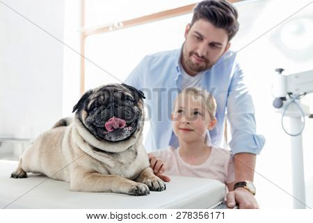 Owners looking at pug on bed in veterinary clinic