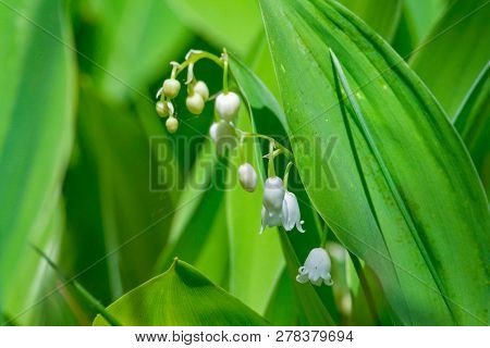 Blossoming Lily Of The Valley. Convallaria Majalis. Flower Of Lily Of The Valley On A Blue Backgroun