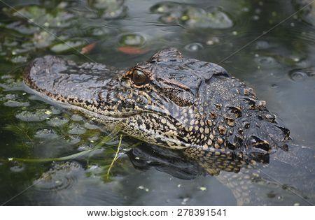 Fantastic American Alligator In The Shallow Bayou Of Louisiana.