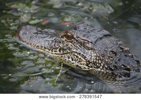 American Alligator In Shallow Swamp Waters Of Louisiana.