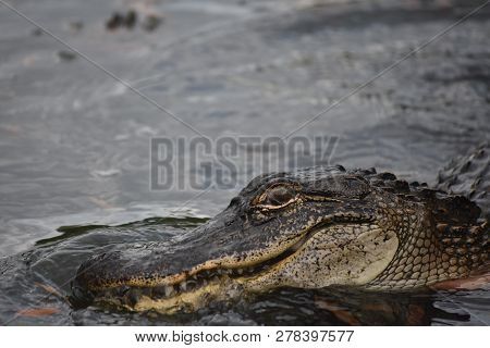 A Close Up Look Into The Eyes Of A Swamp Monster Or Gator.
