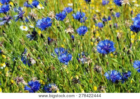 Corn Meadow Blue-beautiful Medicinal Plant On Green Meadow Background With Flowers, Spring Meadow