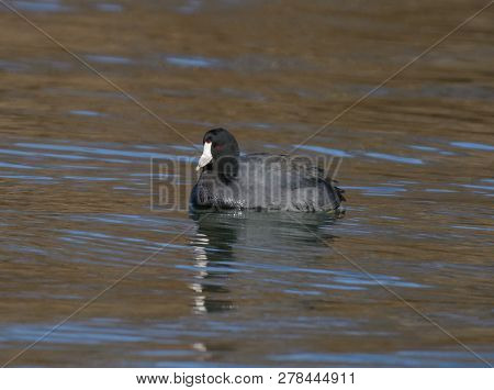 An American Coot (Fulica Americana) also known as a Mudhen, a small waterbird of North America, shown in left profile, on a lake in York County Pennsylvania, where it has migrated for the winter. poster
