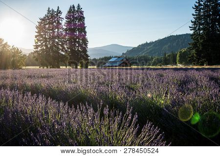 Lavender Flower Field Near Mt. Hood In Oregon, With An Abandoned Barn. Sunflare In Photo