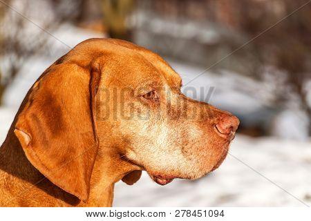 Vizsla Dog Outdoor Portrait. A Close-up Head Shot Of A Vizsla Dog (hungarian Pointer) In The Snow.