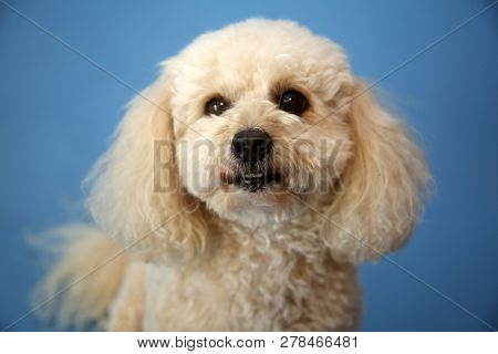 Dog Photo Shoot. Beautiful Bichon Frise Dog with a blue seamless background. Valentines Day Dog Photo Shoot.