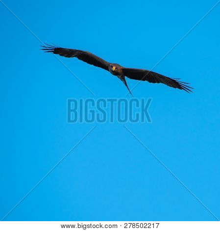 A Yellow Billed Kite Hunting Against A Blue Sky.