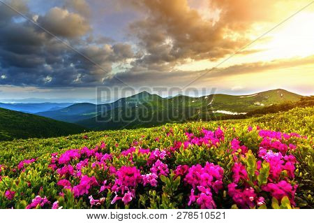 Beautiful View Of Pink Rhododendron Rue Flowers Blooming On Mountain Slope With Foggy Hills With Gre