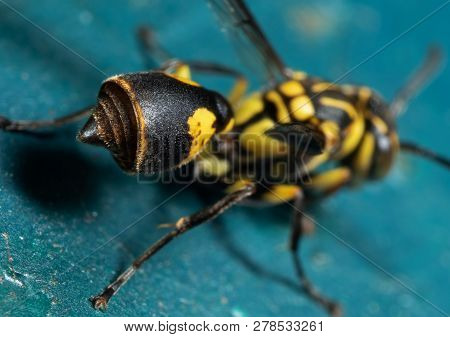 Macro Photography Abdomen And Stinger Of Wasp On Turquoise Floor