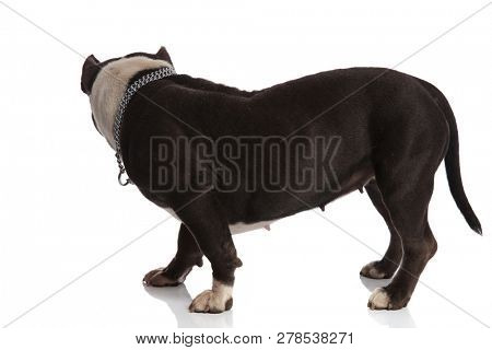 side view of adorable american bully standing on white background and looking to side