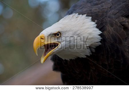 Majestic Eagle Calling With Open Beak And Intense Expression In Its Eyes, Details Of The White Feath