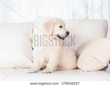 cute fluffy puppies on sofa at home