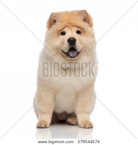 happy chow chow with blue tongue exposed sitting on white background