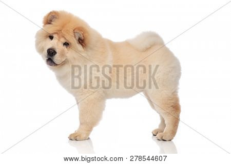 side view of yellow chow chow with blue tongue exposed standing on white background and looking down to side