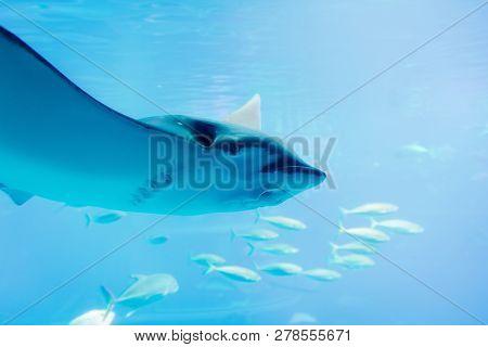 Stingray Swimming Marine Life Underwater Ocean Aquarium.