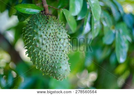 Soursop / Guanabana / Graviola Exotic Fruit Hanging From Tree - Growing And Harvesting Your Own Food