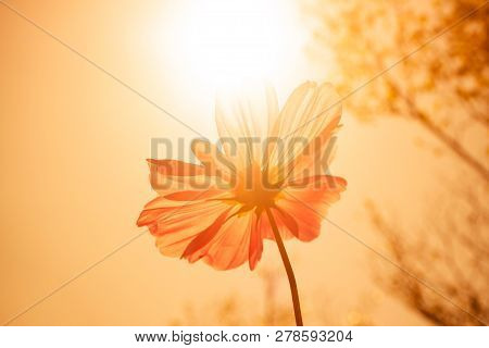 Cosmos Flower (cosmos Bipinnatus) In The Garden