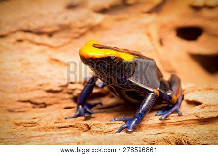 Dyeing dart frog, tinc or dendrobates tinctorius lorenzo is a poisonous poison arrow frog from the amazon rain forest in Brazil, French guyana an Suriname. Vivid blue and orange colors. poster