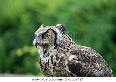 Great horned owl (Bubo virginianus) with open beak sat looking to the left in daylight with a background of blurred trees. poster