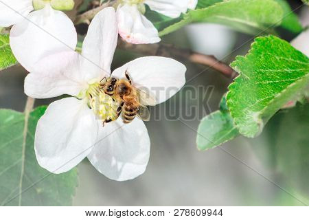 Apple Flower With Bee Collecting Nectar To Produce Medicinal Manuka Honey. Nature Spring