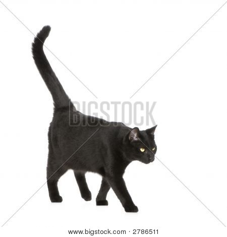 Black cat in front of a white background poster