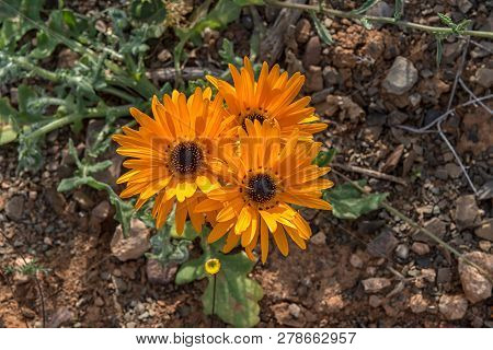 Flowers Of The Asteraceae Spesies In The Tankwa Karoo In The Northern Cape Province Of South Africa