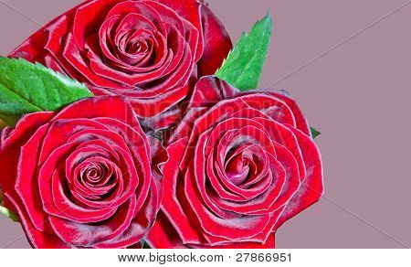 red roses against purple background